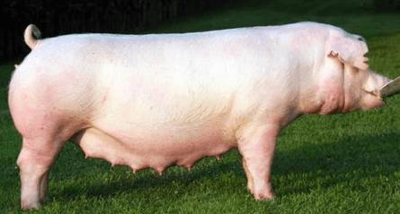 Girl-Female Pig Names