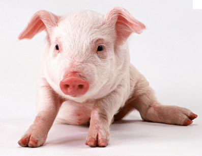 Good Names For Pig Pets
