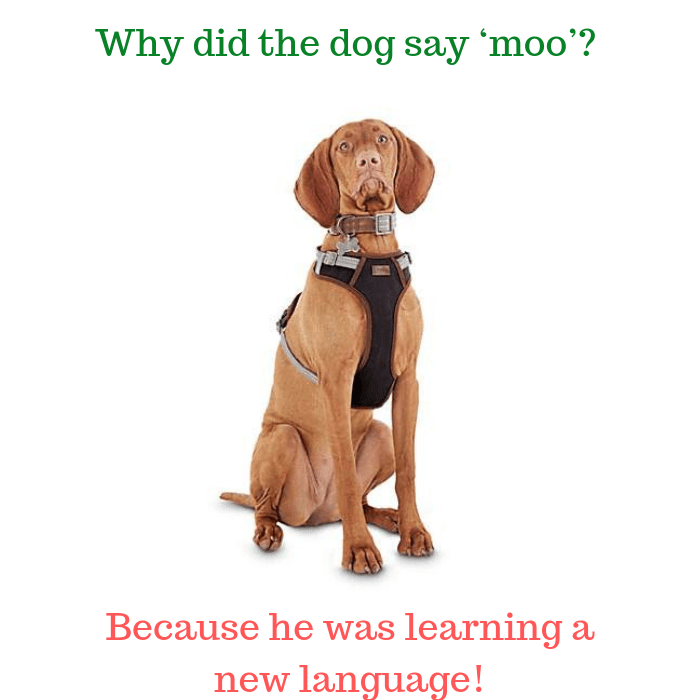 Why did the dog say 'moo' Because he was learning a new language!