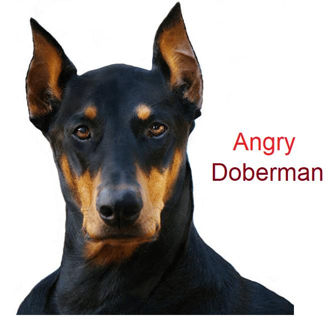 Angry Doberman